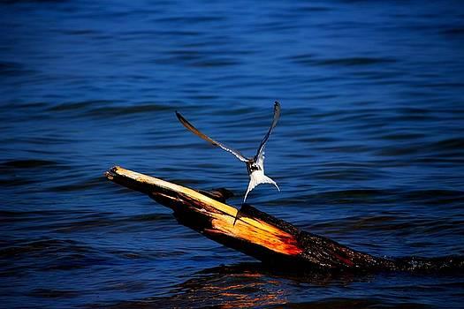 My Tern to Perch by Amanda Struz
