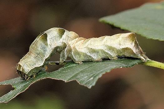 Mystery Caterpillar by Doris Potter