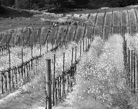 Chuck Kuhn - Napa Vally Vineyard II