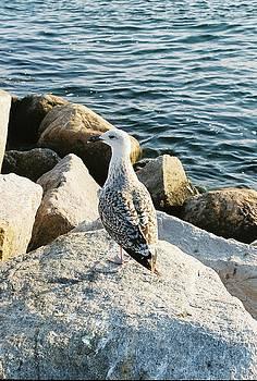 Narragansett Gull by Cheryl A Vatcher Martin