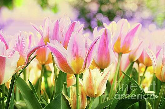 Natures Beauty in Tulips by Elaine Manley