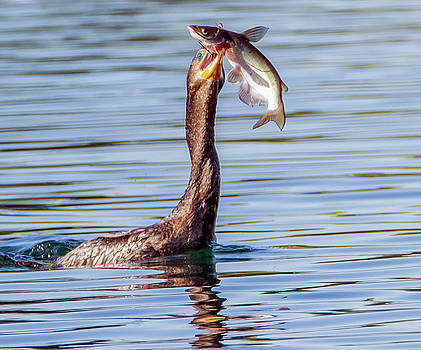 Neotropic Cormorant with Fish by Tam Ryan