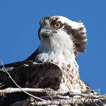 Nesting Osprey by Jim Fillpot