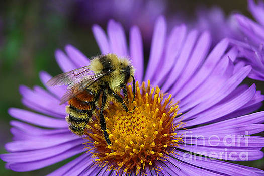 New England Aster and Bee by Steve Augustin