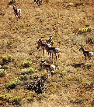 Antelopes by Joseph Frank Baraba