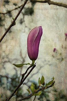 Marilyn Wilson - Pink Magnolia Bloom