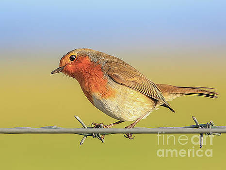 New Year Robin by Roy McPeak