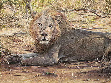 Ngala - South African Lion. by Eric Wilson