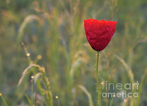 Nice single red poppy flower by Odon Czintos
