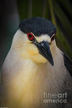 Night Heron Portrait by Mitch Shindelbower