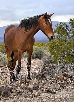 Adam Jewell - Nopah Mountains Wild Horse
