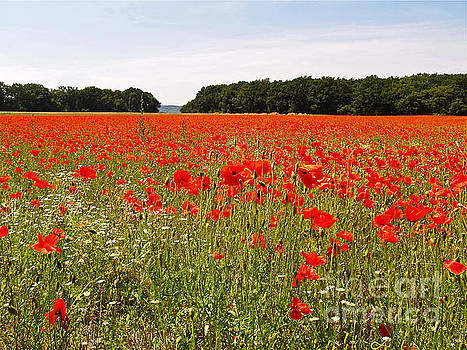 Normandy Poppies by Alex Cassels
