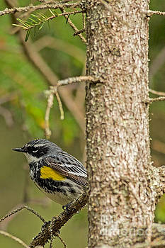 North Shore Yellow Rumped Warbler by Natural Focal Point Photography