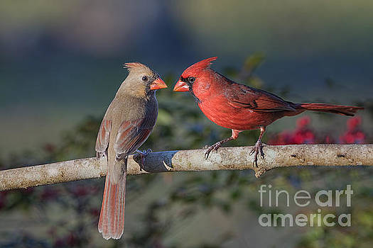 Northern Cardinal Encounter by Bonnie Barry