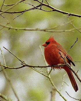 Michael Peychich - Northern Cardinal