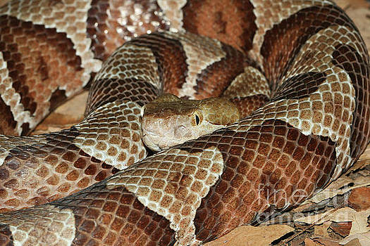 Northern Copperhead Snake by Judy Whitton