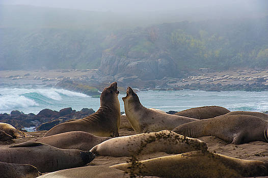 Northern Elephant Seals mirounga angustirostris by Eyal Nahmias