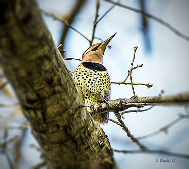 Northern Flicker - Woodpecker by Brian Wallace