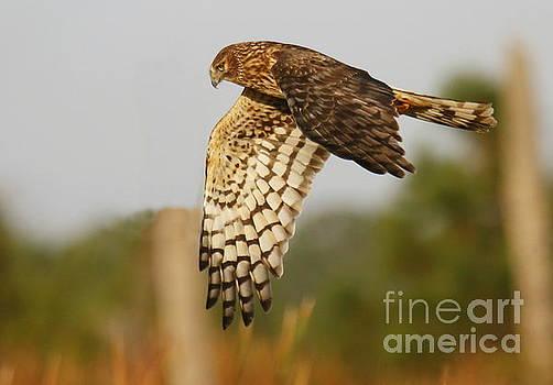 Northern Harrier Flight by Myrna Bradshaw