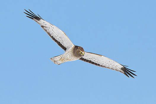 Northern Harrier in flight by Greg Gard