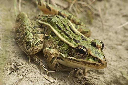 Michael Peychich - Northern Leopard Frog