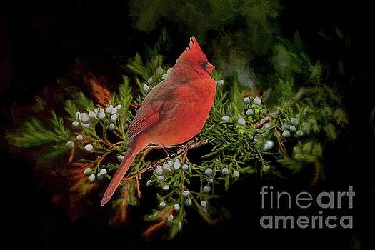 Northern Scarlet Cardinal on White Berries by Janette Boyd