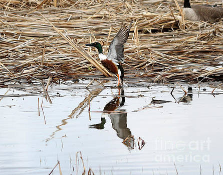 Northern shoveler by Lori Tordsen