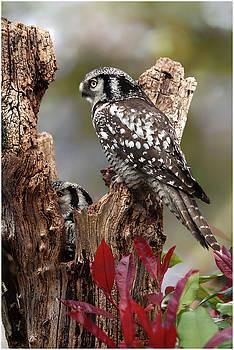 Nothern Hawk Owl by John Fotheringham