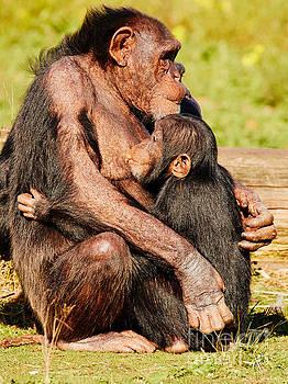 Nursing chimpanzee by Nick  Biemans