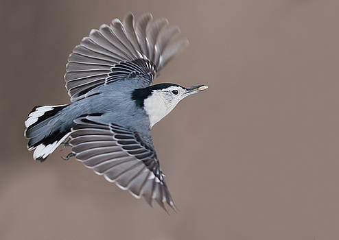 Nuthatch in flight by Mircea Costina Photography