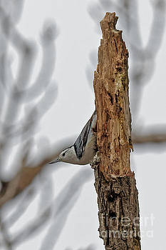 Nuthatch in January by Natural Focal Point Photography
