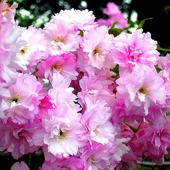 NZ Cherry Blossoms by Cathy Jacobs