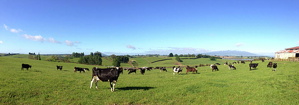 NZ cows by Les Cunliffe
