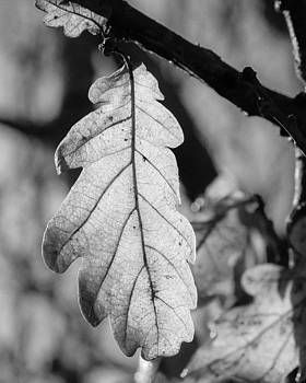 Oak Leaf in Black and White by Kathryn Bell