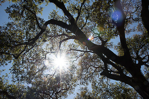 Oak tree brunches with sunshine and lens flare by Zina Zinchik