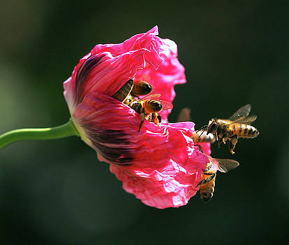 Occupy Poppy Party. Bees and pollination.  by Joe Schofield