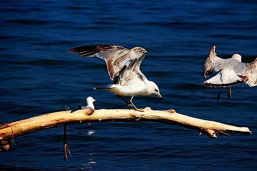 Off You Gull by Amanda Struz