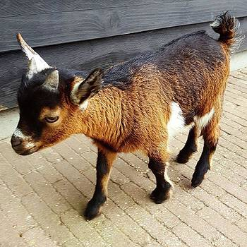 Oh My Goodness How Cute Are Baby Goats? by Dante Harker