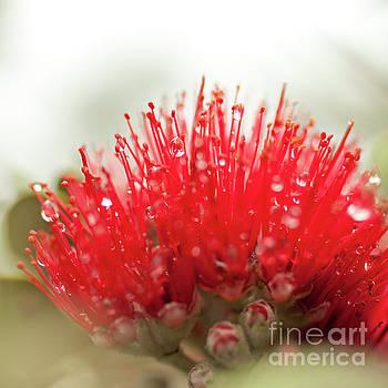 Charmian Vistaunet - Ohia Lehua Flower