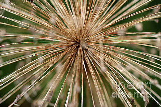 Old Allium by Karen Adams
