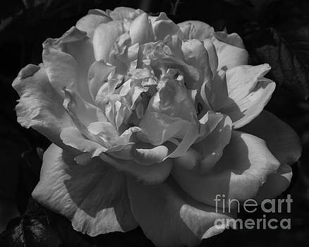 Old Fashioned Rose in Black and White by Kathryn Bell