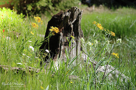 Old Stump by Rachele Morlan