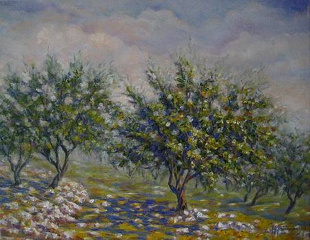 Olive Tree Field by Mirjana Gotovac