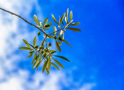 Olives by Marion McCristall