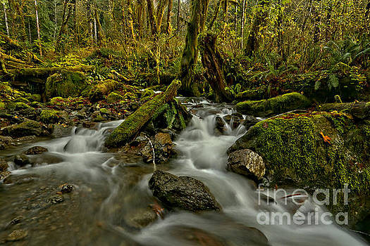 Olympic Quinault Rainforest Stream by Adam Jewell