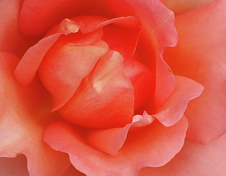 On The Rose Again by Marilyn Peterson