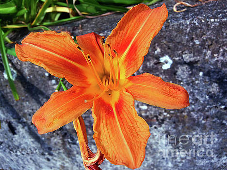 One Day Lily by Jasna Dragun