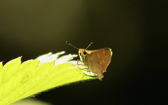 Woodland Skipper Butterfly 8 by Marilyn Wilson