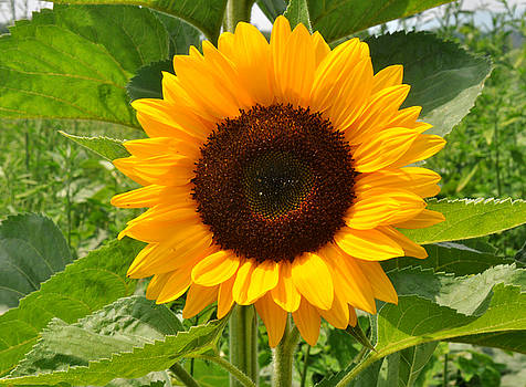 One Sunflower by Diane Lent