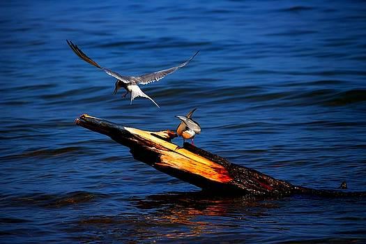 One Tern Flight by Amanda Struz